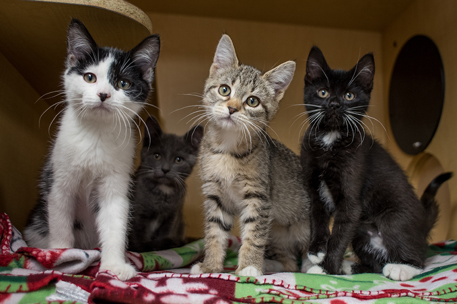 Four kittens at SICSA in Kettering, located at  2600 Wilmington Pike.